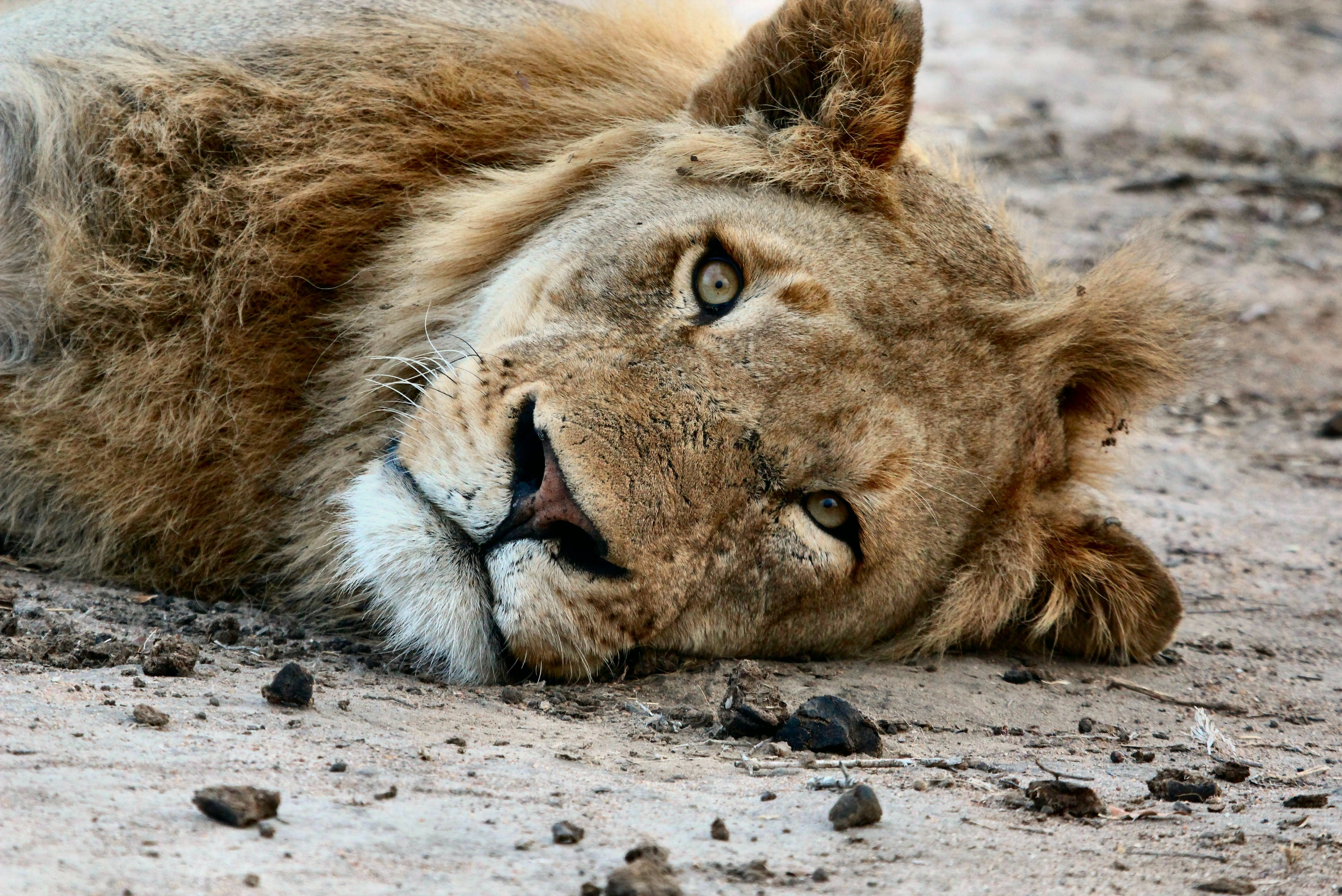 lion-at-rest